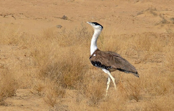 http://relivearth.com/endangered-species/great-indian-bustard/