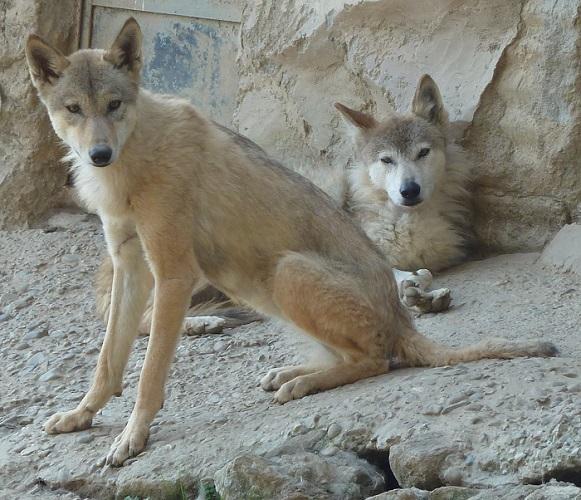 https://bharatkasafar.wordpress.com/2013/11/02/padmaja-naidu-himalayan-zoological-park-darjeeling-it-is-getting-wider/padmaja-naidu-himalayan-zoological-park-himalayan-wolf/