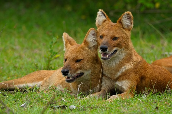 Photo Credit http://walkthewilderness.net/on-a-hunt-with-the-endangered-pack-dhole-wild-dog/