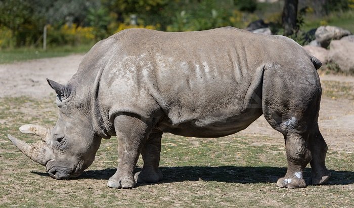 Photo Credit https://aidaphotography.wordpress.com/tag/greater-one-horned-rhino/