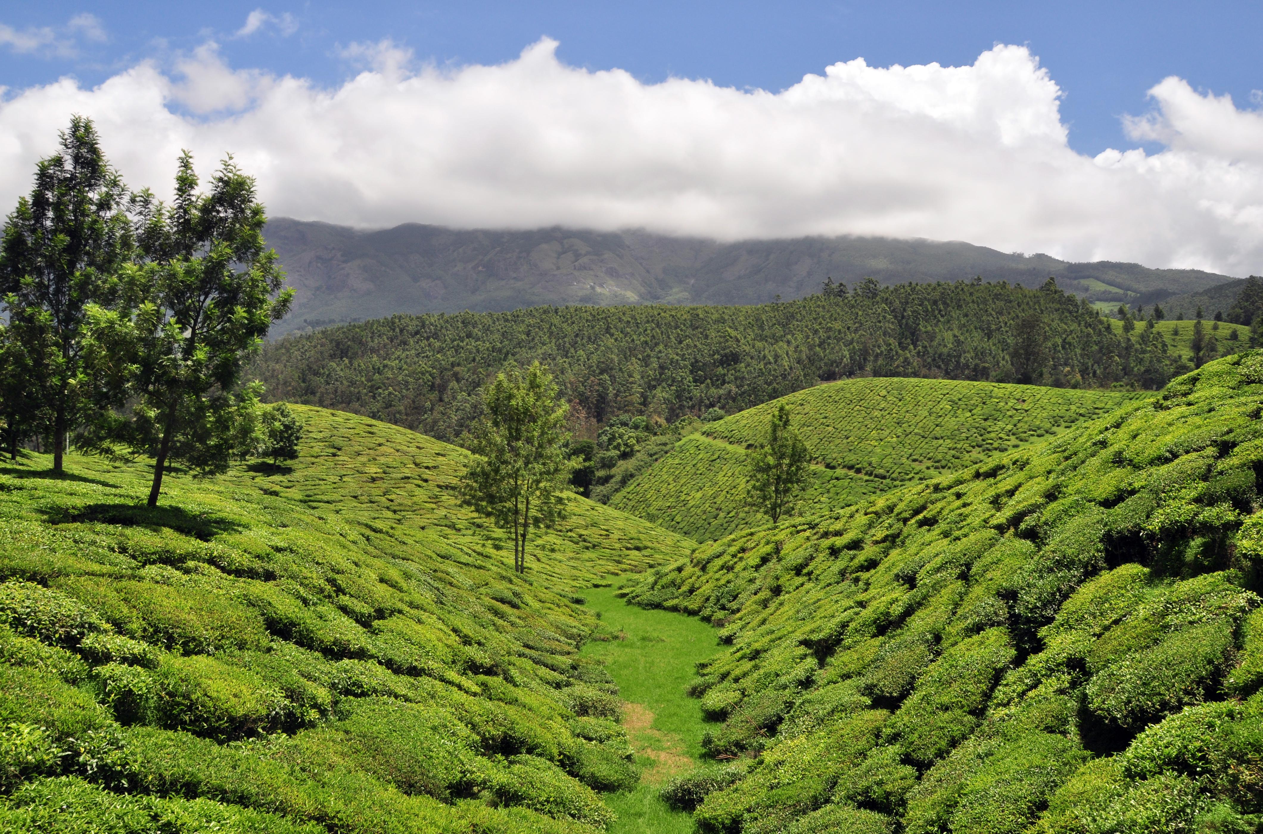 Photo Credit http://commons.wikimedia.org/wiki/File:Munnar_Tea_Plantation.jpg