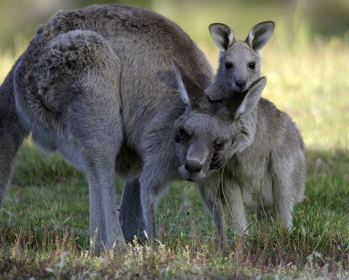 Photo Credit  http://awpc.org.au/kangaroos-the-benefits-of-our-unique-wildlife/