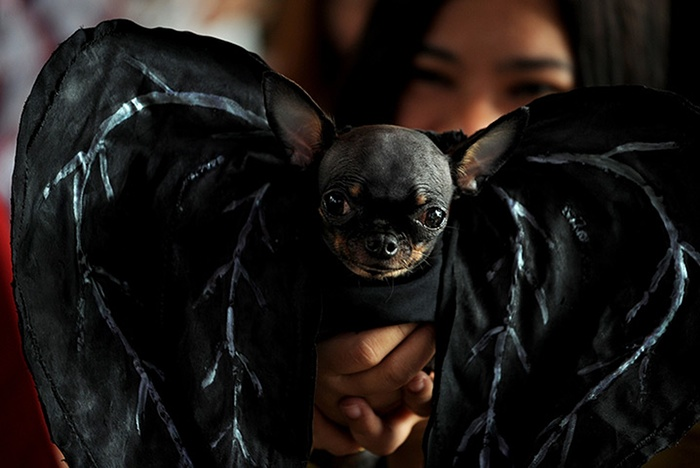 Photo Credit http://www.theguardian.com/lifeandstyle/gallery/2013/oct/28/halloween-dogs-in-pictures