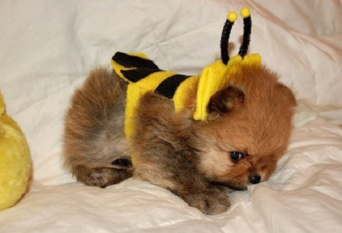 Photo Credit http://puppytoob.com/dog-pictures/dog-wearing-bumble-bee-costumes/